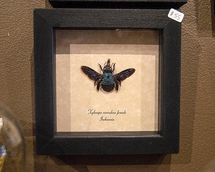 Blue Carpenter Bee Specimen