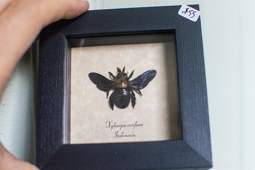 Confusa Carpenter Bee