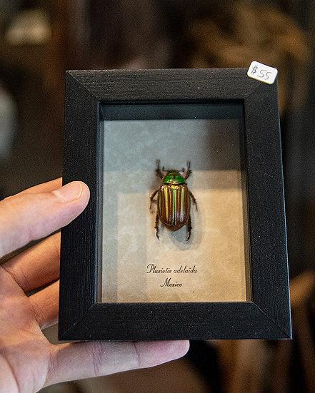 Red Stripe Jewel Scarab Beetle