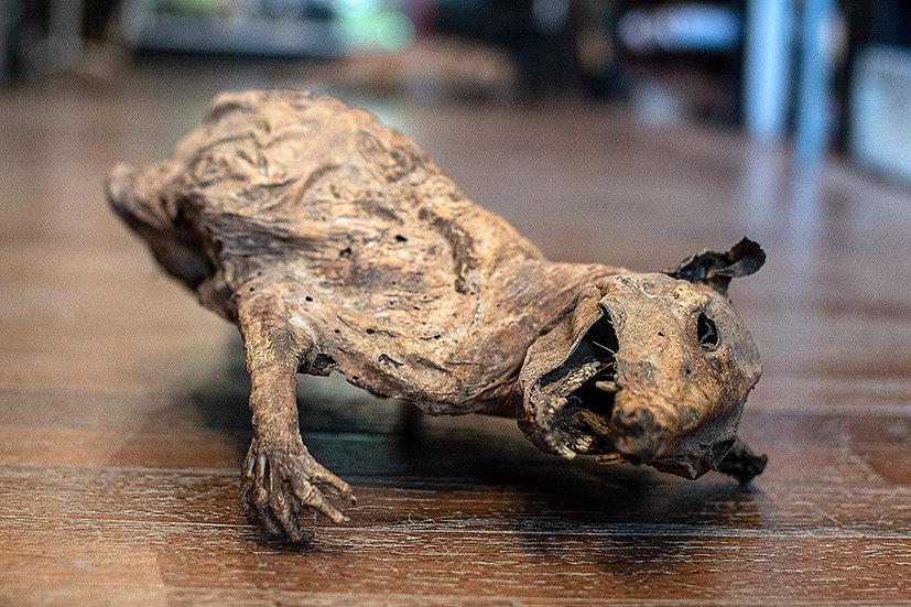 Mummified Opposum