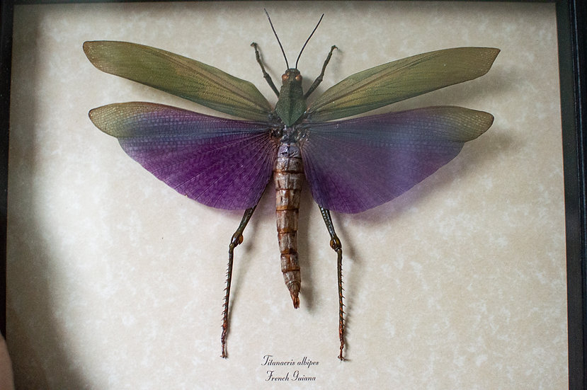 Midnight Purple Grasshopper