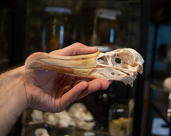 Albatross Skull
