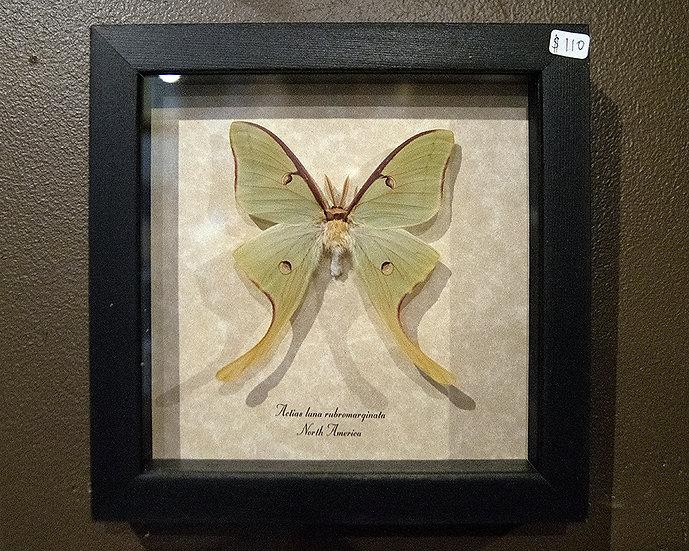 Real Framed Luna Moth Specimen