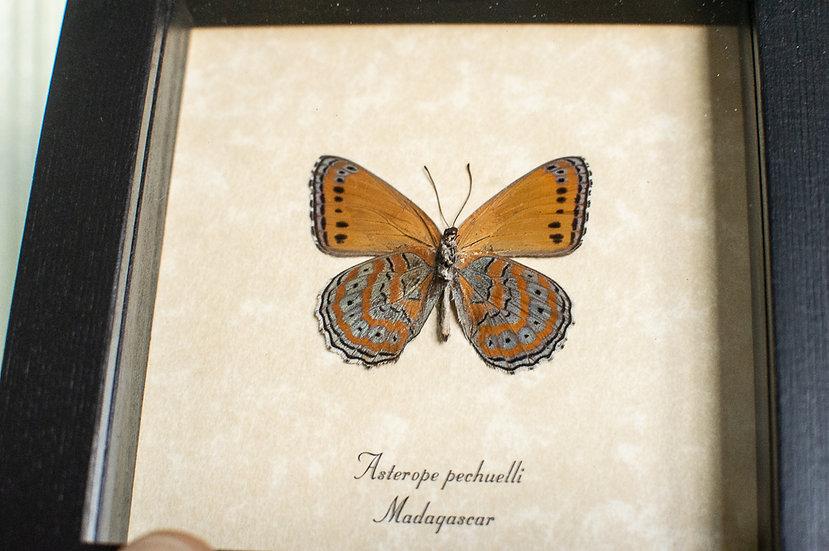 Lavender Orange  Butterfly