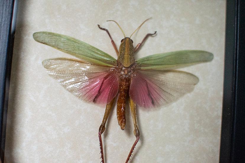 Majestic Pink Grasshopper