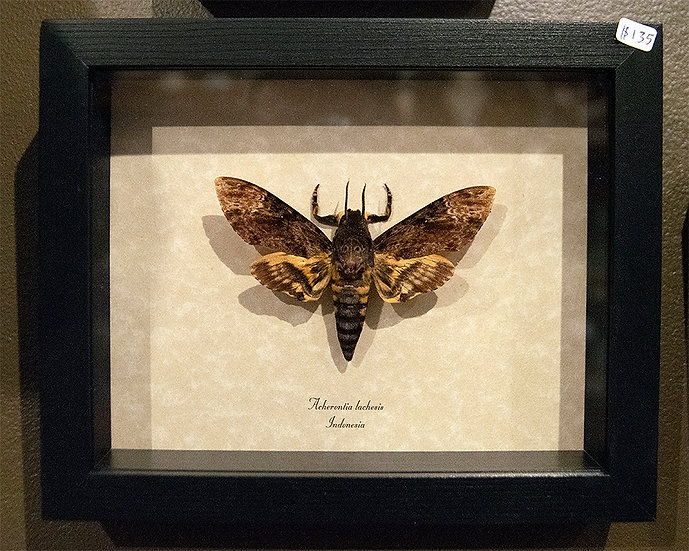 Real Framed Death's Head Moth Specimen