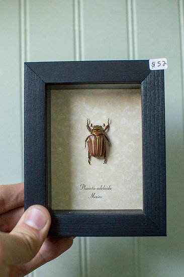 Jewel Scarab Beetle