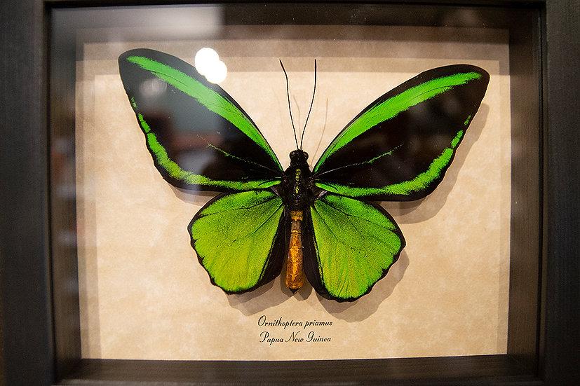Northern Green Birdwing Butterfly