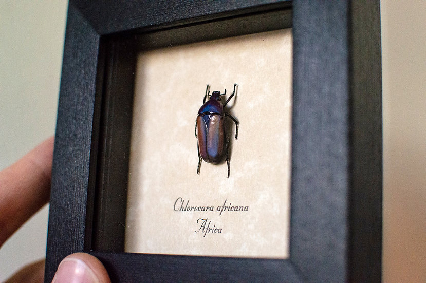 Amethyst Jewel Beetle