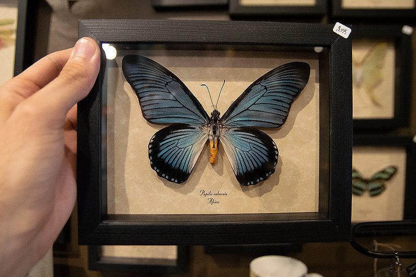 Giant Blue Swallowtail