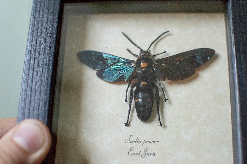 Cobalt Glimmer Wasp