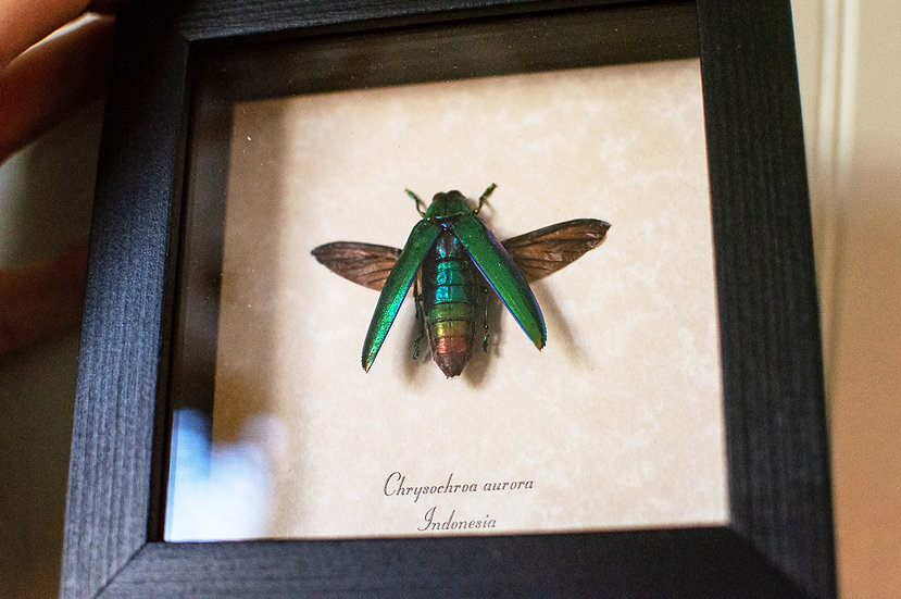 Aurora Jewel Beetle Insect