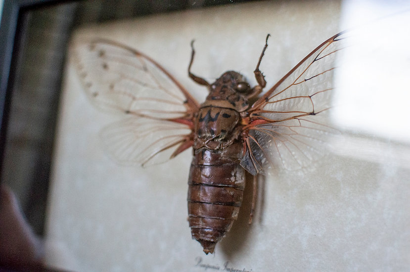 Giant Clearwing Cicada