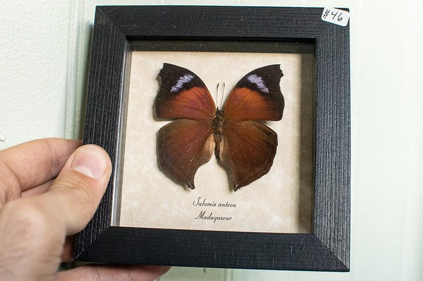 Violet Shimmer Hatchet Butterfly