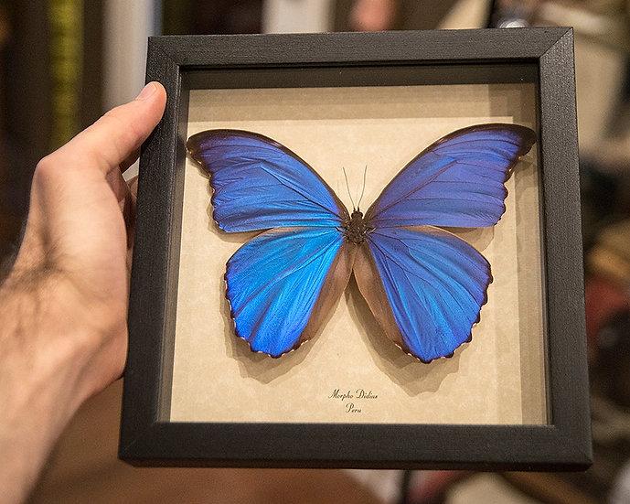 Blue Morpho Butterfly Framed Specimen