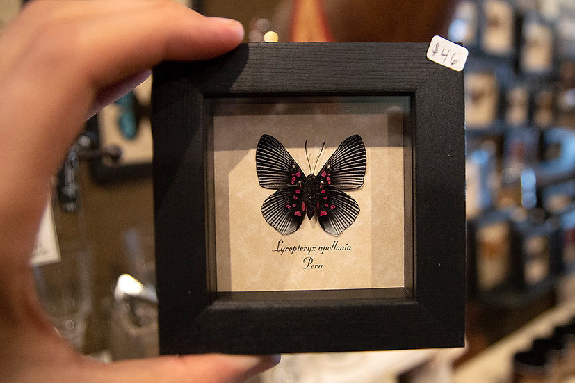 Pink Dotted Metalmark Butterfly