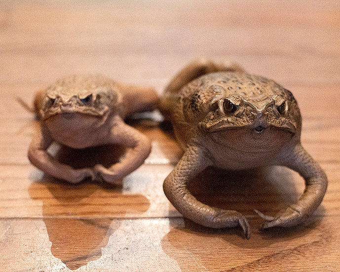 Taxidermy Cane Toad