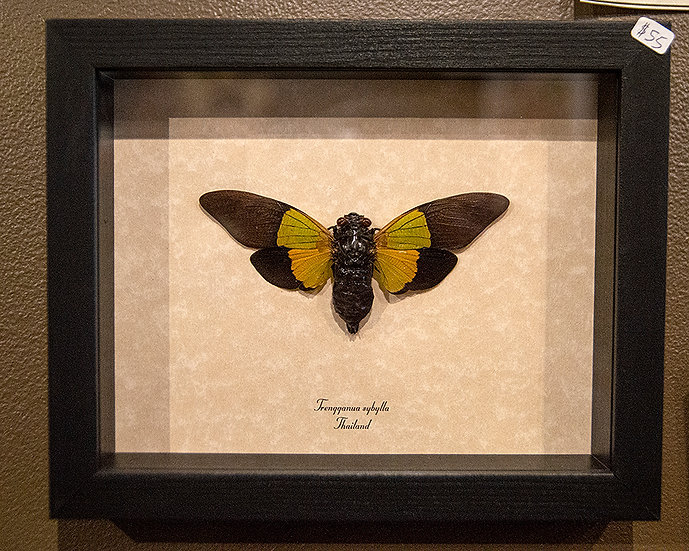 Lime Green Cicada - Framed Insect