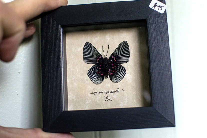 Pink-Dotted Butterfly