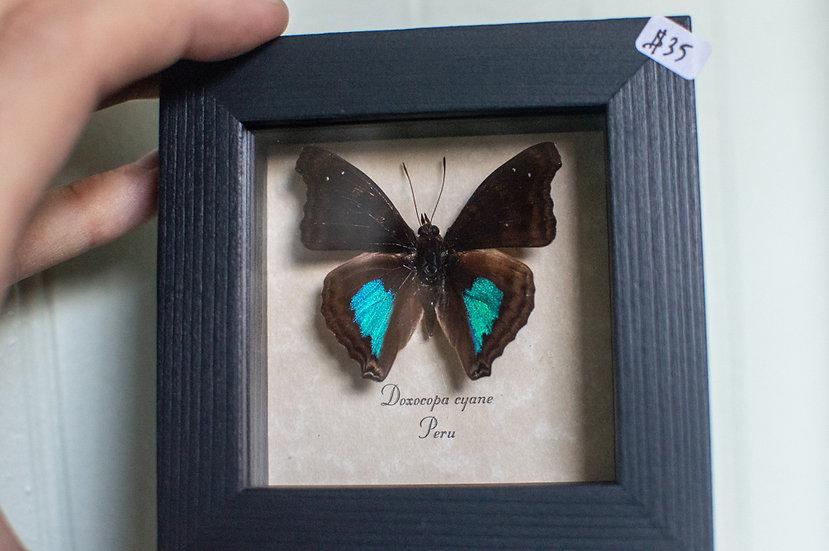 Cyane Emperor Butterfly
