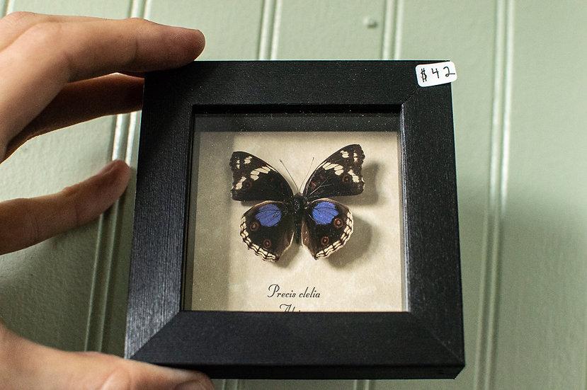 Purple Spot Butterfly