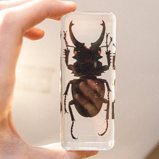 Large Stag Beetle Resin Specimen