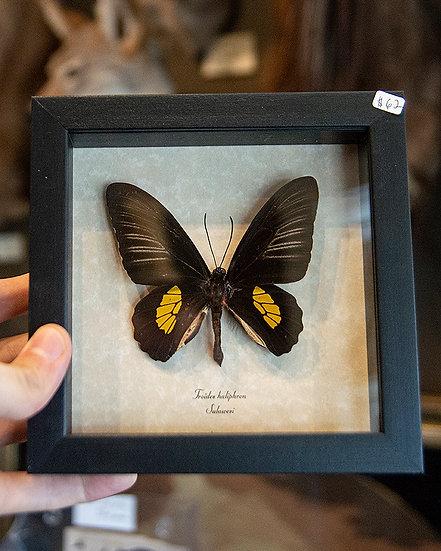 Haliphron Birdwing Butterfly