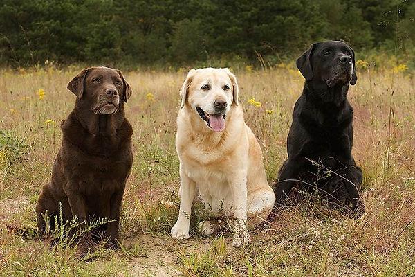 Labrador-Retrievers-three-colors akc.jpg
