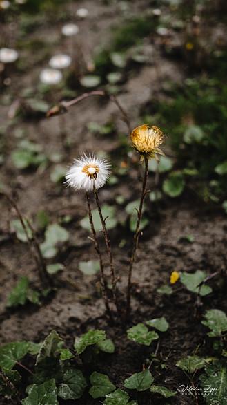 Seebachtal Blume Mallnitz.jpg