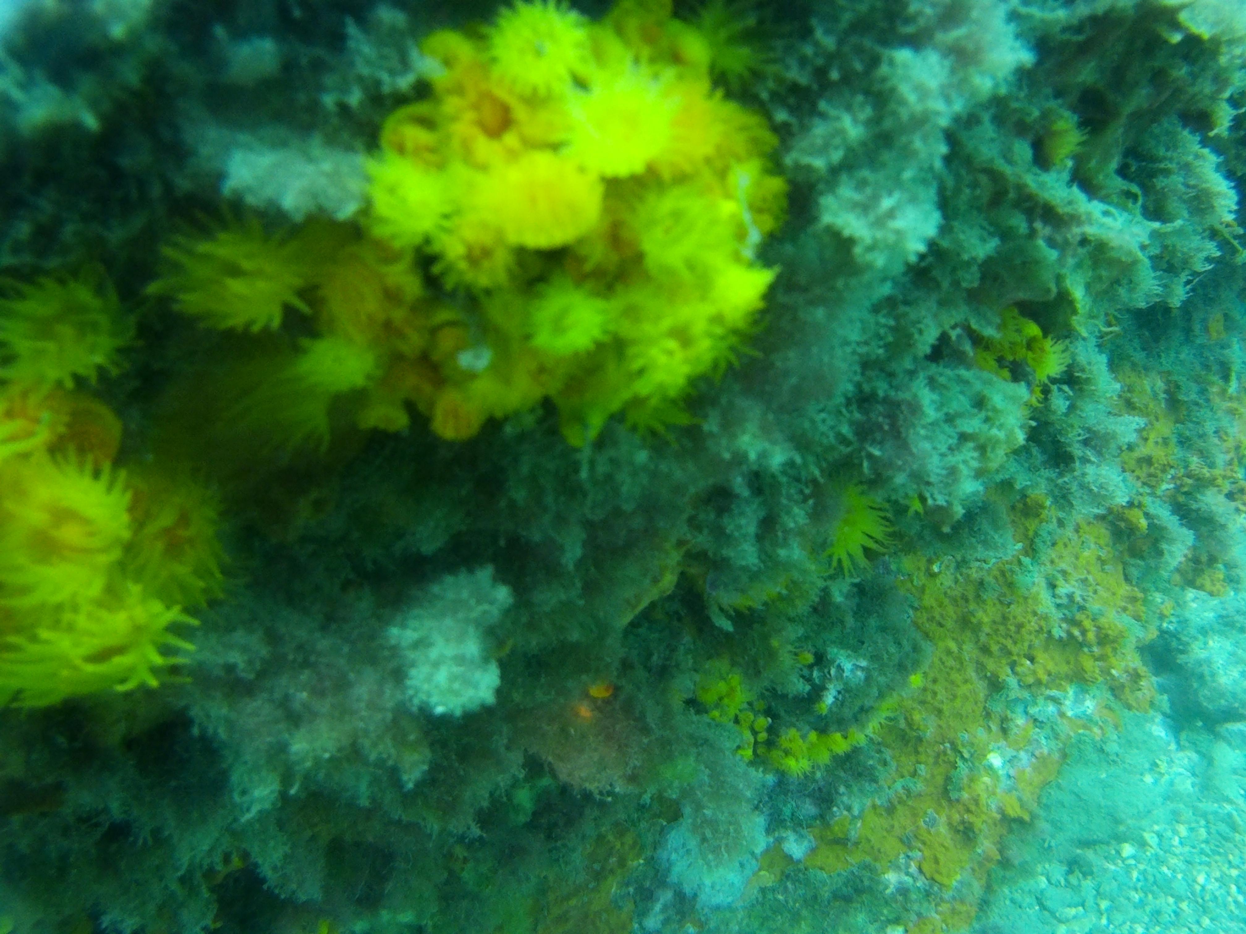 Coral amarillo Estrellado