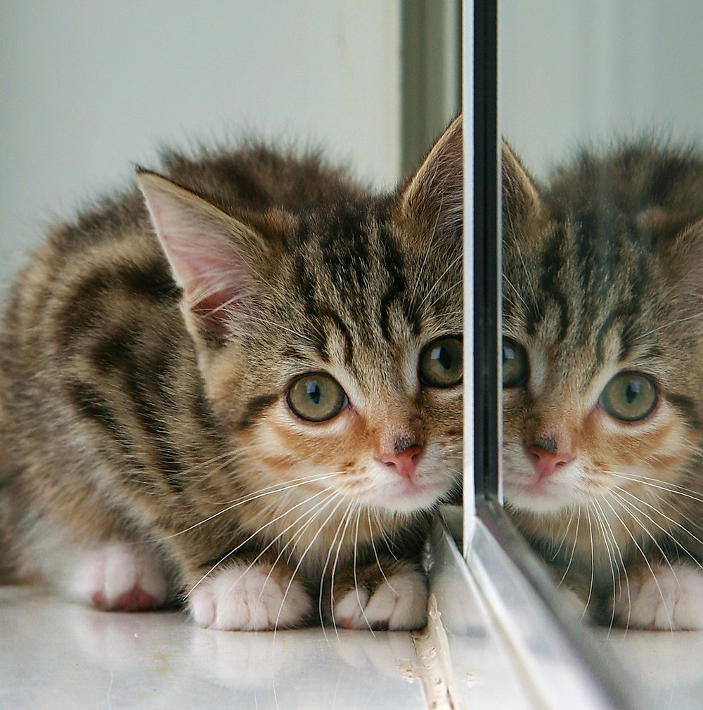Kitten_and_partial_reflection_in_mirror.jpg