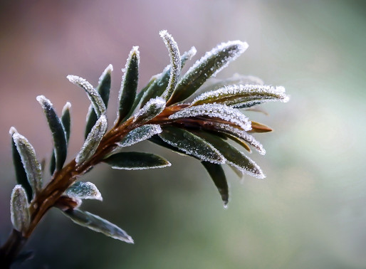 The Sprigs of Winter