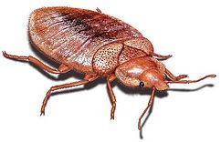 Bed_Bugs.JPG