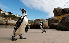 AFRICAN PENGUINS - BOULDERS BEACH.jpg
