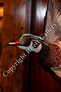 Single Wood Duck Drake