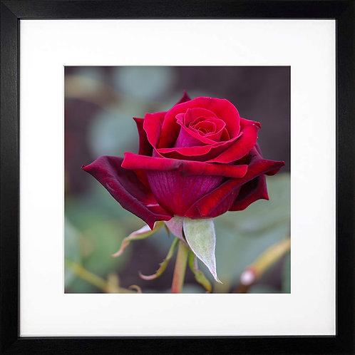 Square Red Rose print