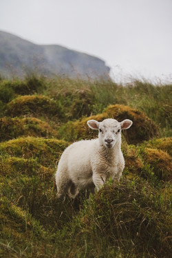 Ingleborough Lamb