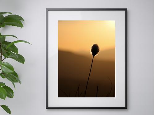 Single Cottongrass print