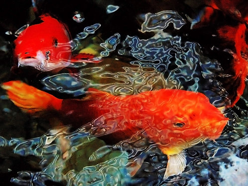 Koi Churning