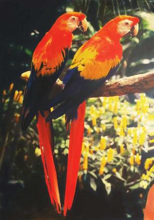 Macaw Twins