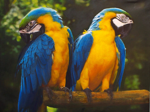 Twin Golden Macaws