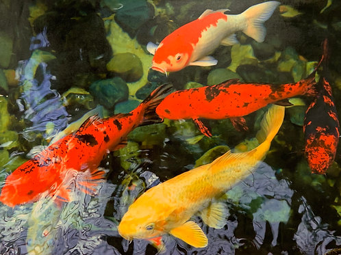 Koi Search Party