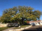 St Meme Oak Tree.jpg