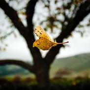 Falling Leaf - Shenandoah National Park