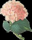 Rosa Blüten Illustration