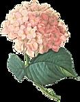 Rosa Flores Ilustração