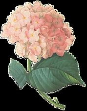 Pink Blossoms Illustration
