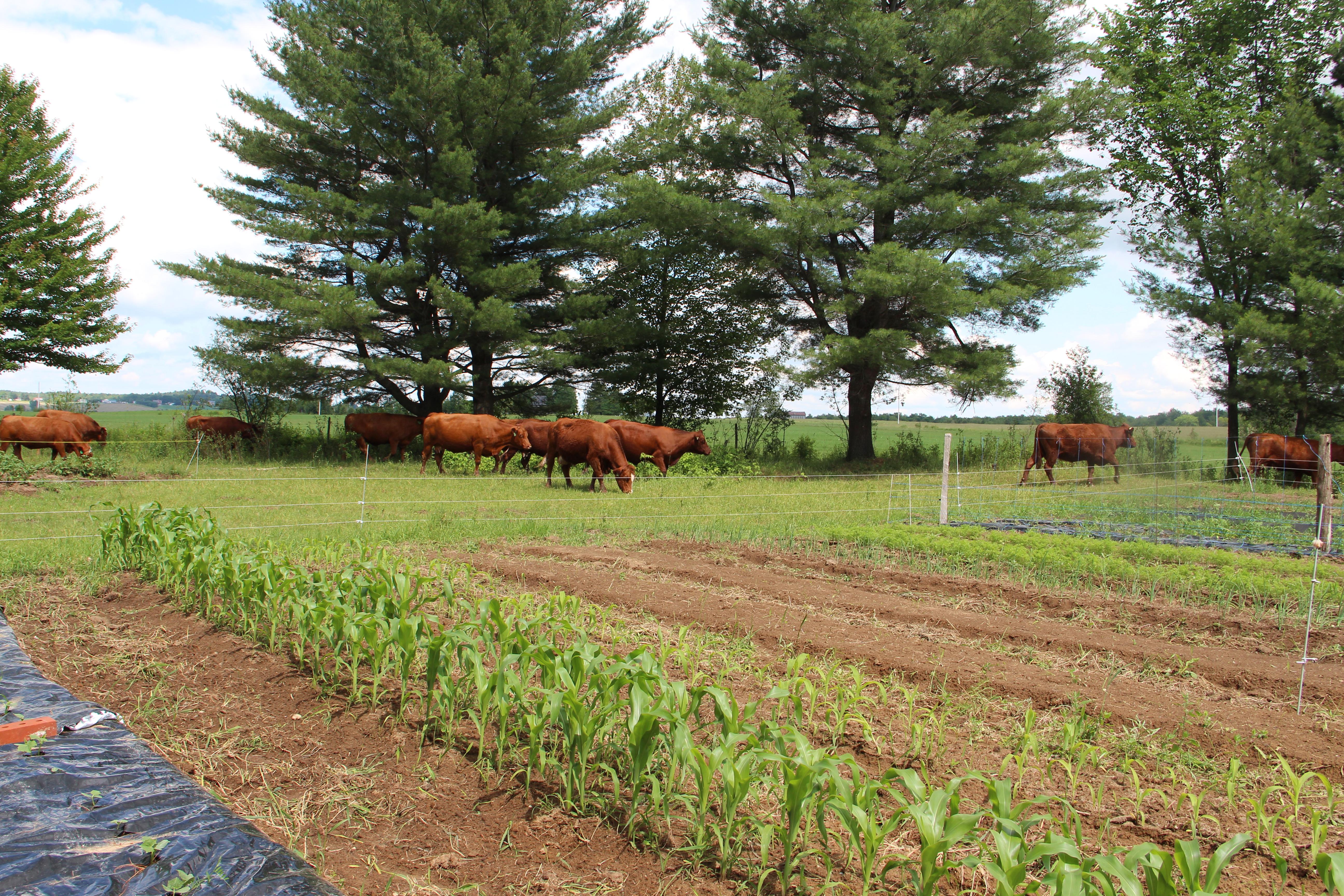 Nos vaches autour du jardin!