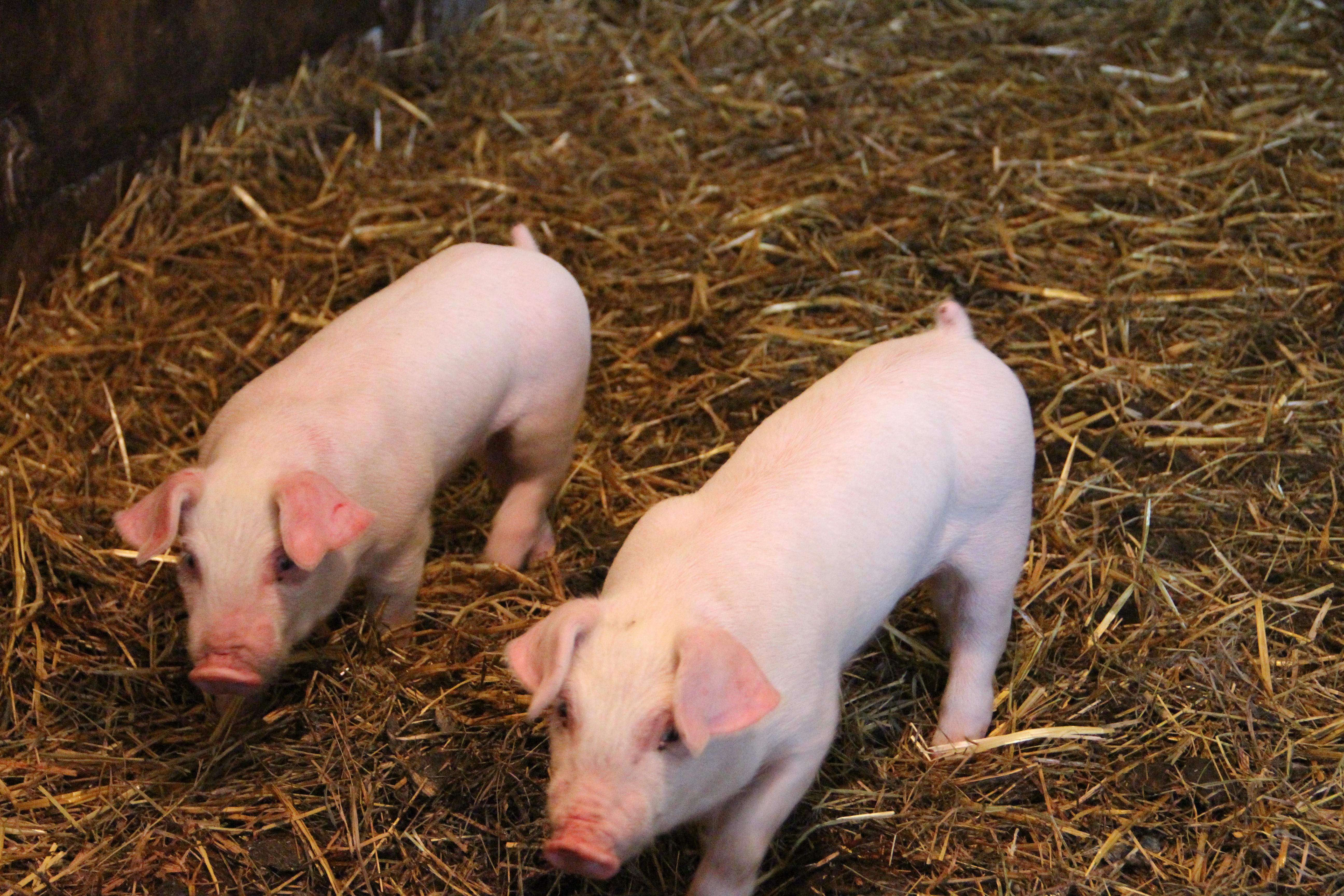 Nos petits cochons