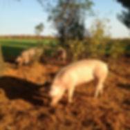 Porcs d'antan